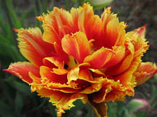 Махрово - тюльпан бахромчатий Gold Dust Новинка 10/11