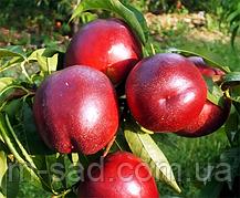 Саженцы Нектарина Биг Топ(крупный,урожайный,морозостойкий)