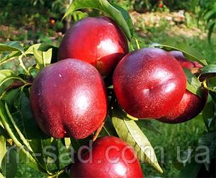 Нектарин Ванг-3(скороплодный,зимостойкий), фото 2