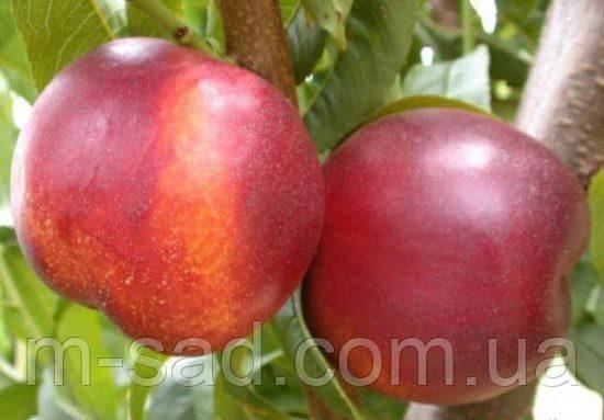 Саженцы Нектарина Фэнтези(урожайный,сочный,самоплодный)
