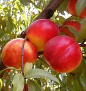 Нектарин Фэнтези(скоро плодный,само плодный,очень вкусный)