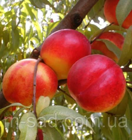 Саженцы Нектарина Фэнтези(урожайный,сочный,самоплодный), фото 2