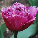 Махрово-тюльпан бахромчатий Matchpoint 10/11, фото 2