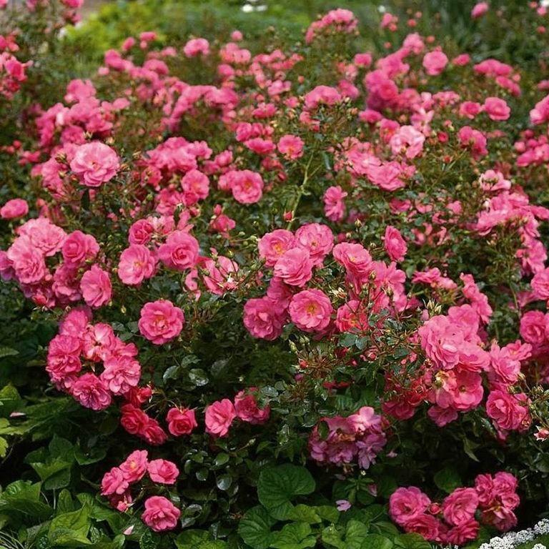 Роза почвопокровная Мирато