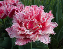 Махрово-бахромчавый тюльпан Queesland 11/12 новинка