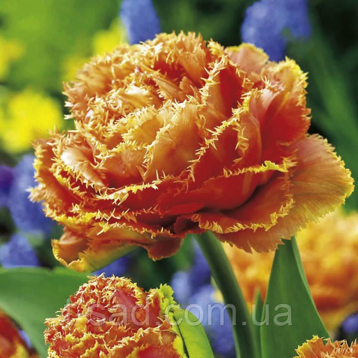 Махрово-бахромчатый тюльпан Sensual Touch 11/12 новинка
