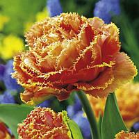 Махрово-бахромчатый тюльпан Sensual Touch 10/11 новинка