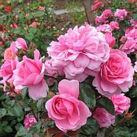 Троянда флорибунда Берлебург