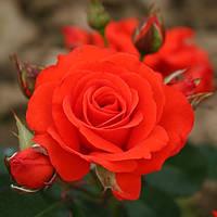 Троянда флорибунда Корус