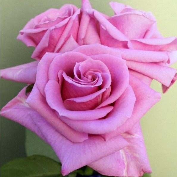 Роза Делинах