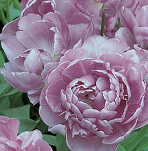 Багатоквітковий махровий тюльпан Lilac Perfection 10\12