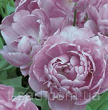 Многоцветковый махровый тюльпан Lilac Perfection 10/12