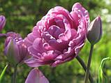 Многоцветковый махровый тюльпан Lilac Perfection 10\12, фото 4