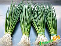Семена на развес лук на перо Энтита, 10 г из проф пакета, Moravoseed, Чехия