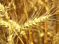 Семена озимой пшеницы Ампер (суперэлита)