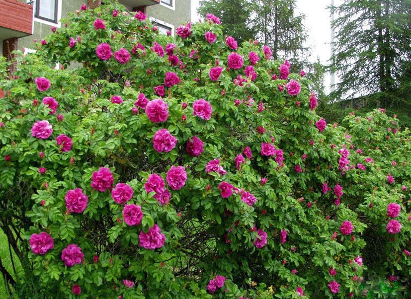 Роза Царица Севера (Kaiserin des Nordens) Шраб