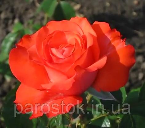 Роза Гольдштейн Перле. Ч/г роза.