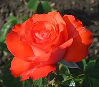 Роза Гольдштейн Перле. (в). Ч/г роза.