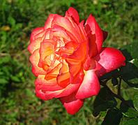 Роза Рина Херхольд. (в). Чайно-гибридная роза.