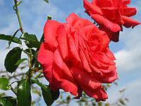 Роза Фройде.  Чайно-гибридная., фото 1