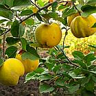 Саженцы Айвы Анжерская - раннего срока,  урожайная, морозостойкая, фото 2