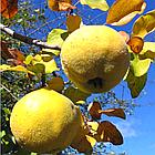 Саженцы Айвы Анжерская - раннего срока,  урожайная, морозостойкая, фото 3