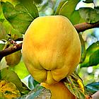 Саженцы Айвы Анжерская - раннего срока,  урожайная, морозостойкая, фото 4