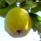 Саженцы Айвы Крымская Ранняя - раннего срока, крупная, самоплодная, грушевидная, фото 3
