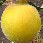 Саженцы Айвы яблоковидной Отличница - (2-х летка), среднего срока, крупноплодная, морозостойкая, фото 3