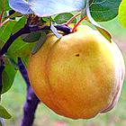 Саженцы Айвы яблоковидной Отличница - (2-х летка), среднего срока, крупноплодная, морозостойкая, фото 4