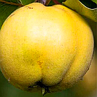 Саженцы Айвы яблоковидной Отличница - (2-х летка), среднего срока, крупноплодная, морозостойкая, фото 5