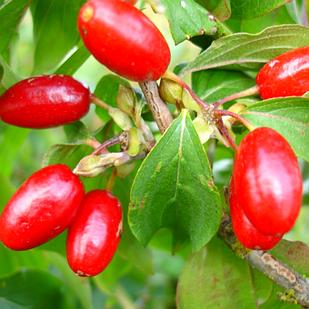 Саджанці Кизилу Видубицький - ранній, зимостійкий, урожайний
