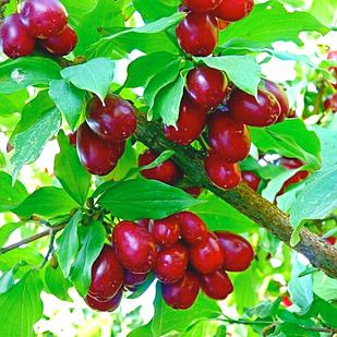 Саджанці Кизилу Євгенія - середній, урожайний, зимостійкий