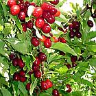 Саджанці Кизилу Євгенія - середній, урожайний, зимостійкий, фото 2