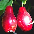 Саженцы Кизила Костя - средний, крупноплодный, урожайный, фото 2