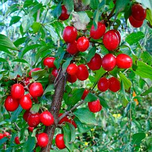 Саженцы Кизила Николка (Привитый) - ранний, крупноплодный, зимостойкий
