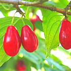 Саженцы Кизила Николка - ранний, крупноплодный, зимостойкий, фото 2