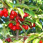 Саженцы Кизила Пионер - ранний, урожайный, зимостойкий, фото 2