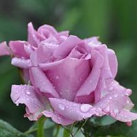 Троянди чайно-гібридна Кул Вотер