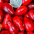Саженцы Кизила Пионер - ранний, урожайный, зимостойкий, фото 3