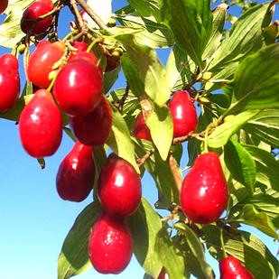 Саджанці Кизилу Семен - пізній, великоплідний, урожайний