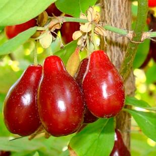 Саженцы Кизила Старокиевский - средний, крупноплодный, зимостойкий