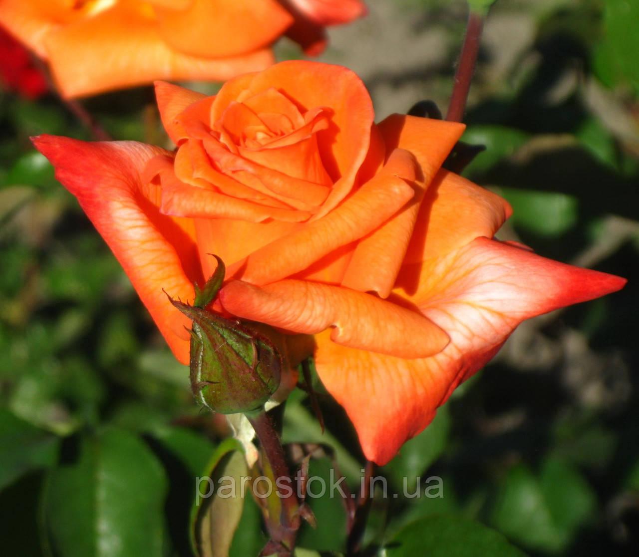 Роза Ловерс Метинг. Чайно-гибридная роза.
