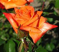 Роза Ловерс Метинг. Чайно-гибридная роза. , фото 1