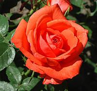 Роза Супер Стар. (в). Чайно-гибридная роза., фото 1