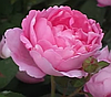 Английская роза Мери Роуз. (в).