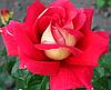 Роза Кроненбург. Чайно-гибридная роза.