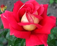 Роза Кроненбург. Чайно-гибридная роза, фото 1