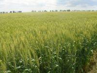 """Озимая пшеница """"Журавка одеська""""  ПОСУХОСТІЙКА-ВРОЖАЙНА ЕЛІТА"""