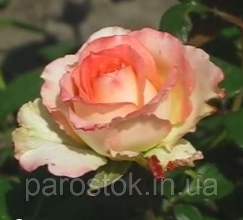 Роза Дует. (с). Чайно гибридная роза